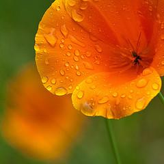 Poppy in the rain - by John Krzesinski